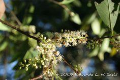 Prunus sellowii, Prunus myrtifolia, Pessegueiro-bravo. Flora Digital do Rio Grande do Sul e de Santa Catarina: Prunus myrtifolia
