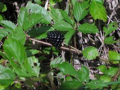 """Dewberry. Nutritional Value: carbohydrates, vitamin C; small amount of minerals and vitamins A & B """"The dewberry plant creeps along the ground as a thorny vine as opposed to blackberries which grow in the form of an upright cane."""""""