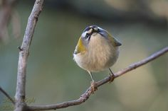 Firecrest by Marco Roghi on 500px