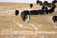 Ever wonder what ranch life is like? Well now you can find out. Jenn is here to tell us what life is like for her on her ranch. Showing Cattle, Country Girl Life, Fluffy Cows, Cattle Drive, Beef Cattle, Farm Boys, Country Scenes, Ranch Life, Ffa