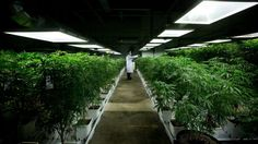 Feds announce new rules for medical marijuana users | CTV News