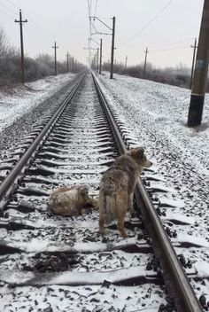 Dog who couldn't get off tracks had a friend who pushed her flat whenever a train came.