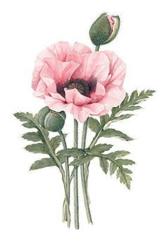 poppy illustration - Google Search