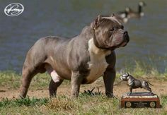 Barrows big poppa Bullying, Pitbulls, American Bullies, Big, Animals, Animales, Animaux, Pit Bull, Animais