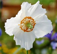 Meconopsis Betonicifolia 'White Alba' -- a rare and gorgeous plant will have a pride of place in any garden, producing ice-white blooms, three to four inches in diameter. A contrasting color to the Himalayan Blue, this fantastic plant for poppy enthusiasts -- with stunning display of white blooms rising two to four foot into the air in the dappled shade of a moist and cool aspect --.is a wonderful perennial for zones 3-9, that will bring a unique twist to any difficult-to-plant shady spot.