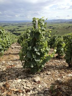 Old vines in the La Madone vineyard of Fleurie in Beaujolais, France