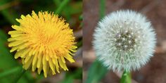 Common dandelion from upstate New York.