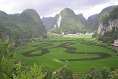 "Rice planting ""dragon"""