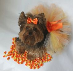 Candy Corn Cutie Dog Tutu Skirt and  Matching by DivaPuppyCouture, $14.99