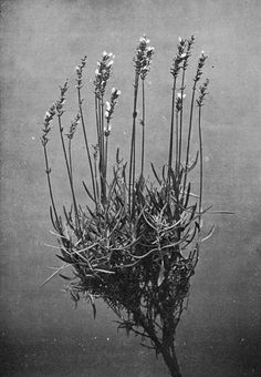 Lavender http://freepages.rootsweb.ancestry.com/~wakefield/history/38904-h/images/ill_060.jpg