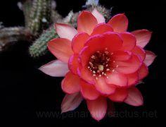 Chamaecereus cv. Amelia Rima