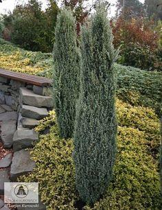 Juniperus communis 'Suecica Nana' 3