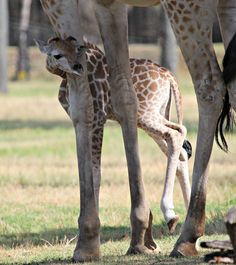 Taronga Welcomes Second Giraffe Calf This Year