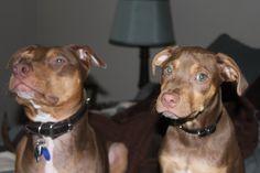 Twin Puppies. Pitbull Dobermans