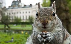 Squirrel . . . Brit Squirrel
