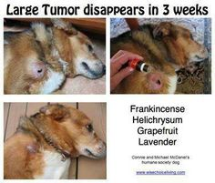 Oils Young Living Oils, Young Living Essential Oils, Tumors On Dogs, Humane Society Dogs, Essential Oils Dogs, Oils For Dogs, Healthy Pets, Dogs Of The World, Nature