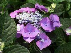 """Hydrangea macrophylla """"Blaumeise"""" www.hydrangeafarm.com"""