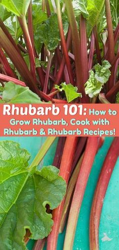 Rhubarb 101: How to Grow Rhubarb, Cook with Rhubarb and Rhubarb Recipes! All the basics about growing rhubarb on the farm or in the city! #garden #urbangarden #homesteading #rhubarb #gardening #planting #recipes #spring #agriculture #farming #farm