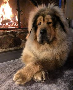 This still primitive dog breed was developed centuries ago in Tibet. Originally used as guard dogs for livestock and property, Tibetan Mastiffs can still be fou Giant Dog Breeds, Giant Dogs, Cute Dogs Breeds, Large Dog Breeds, Pet Dogs, Dogs And Puppies, Dog Cat, Boxer Puppies, Chihuahua Dogs