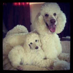 Like gorgeous white lambs - Mother and daughter Standard Poodles #standardpoodles #poodles