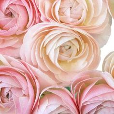 Light Pink Designer Japanese Ranunculus Flower - 20 stems