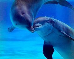 Dolphins Fall in Love and Making Love Group Orcas, Photo Dauphin, Beautiful Creatures, Animals Beautiful, Dolphin Photos, Dolphin Images, Bottlenose Dolphin, Water Animals, Wale
