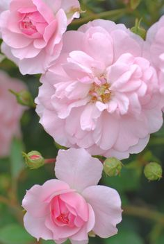 Shrub Rose: Rosa 'Bonica' (France, 1981)