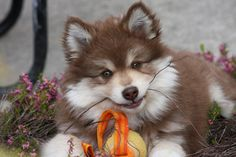The Finnish lapphund is now a family friendly allround dog, but used to herd reindeers for the Sami people. Unlike other herding dogs like border collie, they herd by barking at the reindeers to make them move.