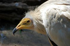 The Egyptian vulture is a small scavenger known for its ability to break open eggs with rocks. Scary Birds, Animal Nutrition, Network For Good, Vulture, Birds Of Prey, Ancient History, Bird Feathers, Spirit Animal, Eagles