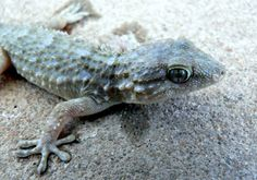 Gecko--Royalty free stock photos. All pictures are free for commercial and personal use. http://www.publicdomainpictures.net