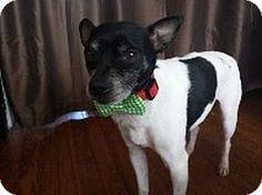 Garland, TX - Rat Terrier. Meet Dante a Dog for Adoption.