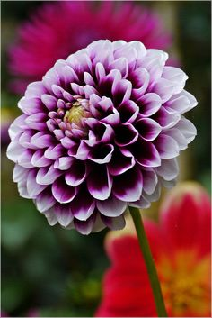 I want these flowers for the wedding. The fear of the Lord is the beginning of knowledge, But fools despise wisdom and instruction. [Proverbs (White tipped dahlia) Purple Dahlia, Dahlia Flower, My Flower, Purple Flowers, Flower Art, Flower Power, Exotic Flowers, Amazing Flowers, Colorful Flowers