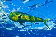 Dolphinfish, Brazil - by Guy Marcovaldi  * aka Mahi Mahi