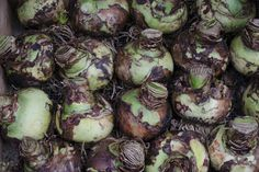 Amaryllis nach der Blüte: Alles zur Pflege im Sommer Amaryllis, Sprouts, Mai, Patio, Potted Plants, Fountain Garden, Ornamental Plants, Summer