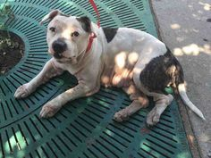Brooklyn Center CECELIA – A1078679 FEMALE, WHITE / BR BRINDLE, AM PIT BULL TER MIX, 2 yrs STRAY – STRAY WAIT, NO HOLD Reason STRAY Intake condition EXAM REQ Intake Date 06/24/2016, From NY 11422, DueOut Date 06/27/2016