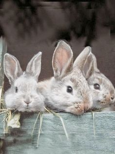 Spring and Easter Celebration with Bunnies Schnauzers, Beautiful Creatures, Animals Beautiful, Baby Animals, Cute Animals, House Rabbit, Blue Bunny, Funny Bunnies, Fauna