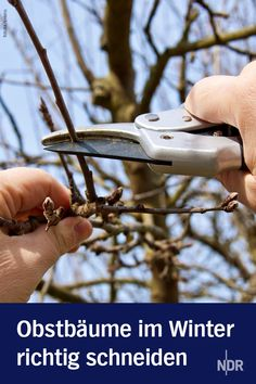 Correctly cut fruit trees in winter- Obstbäume im Winter richtig schneiden A frost-free day in late winter is the ideal time to rejuvenate young and old fruit trees with the right cut. Which branches are cut?