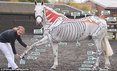 Bringing lessons to life: Miss Higgins with her horse Kiitos who has his skeleton painted on his body Horse Bones, Anatomy Bones, Horse Anatomy, Animal Anatomy, Mane Attraction, Veterinary Courses, Vet Tech Student, Painted Horses, Cattle Farming