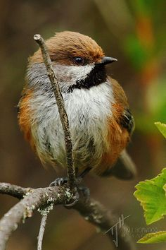 The Boreal Chickadee is a small passerine bird in the tit family Paridae. They have grey-brown upperparts with a brown cap and greyish wings and tail; their face is mainly grey with white on the sides. Their underparts are white with brown on the flanks and a black throat. They have a short dark bill, short wings and a long notched tail.