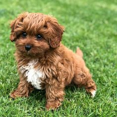 The Cavapoo is a crossbreed that results from breeding a Poodle and a Cavalier King Charles Spaniel. Cavapoos were initially created to be hypoallergenic dogs a Cavapoo Puppies For Sale, Teddy Bear Puppies, Havanese Puppies, Yorkshire Terrier Puppies, Toy Puppies, Cute Dogs And Puppies, Little Puppies, Teddy Bears, Teddy Bear Poodle