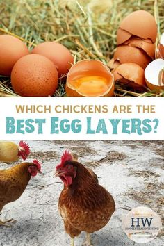 What do The Best Egg Layers provide you? A ton of eggs? Check out the lists of 300 eggs, brown eggs, colored eggs, and more! Types Of Chickens, Keeping Chickens, Raising Chickens, Layer Chicken, Chicken Coops, Chinese Chicken, Brown Eggs, Blue Eggs