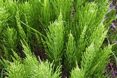 The Health Benefits Of Silica include Regrowing Hair, Heart Health And Permaculture, Herbal Remedies, Natural Remedies, Regrow Hair Naturally, Fern Plant, Hair Loss Remedies, Plantar, Plantation, Health Benefits