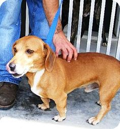 #WVIRGINA #URGENT ~ This doll-baby is Boomerang ID 5946206-3313.  He's a stray 1-2yo Bagle [[ Bassett/Beagle ]] mix dog who's out-goiong, very sweet & in need of a loving #adopter / #rescue at FAYETTE COUNTY ANIMAL CONTROL 513 Shelter Rd #Fayetteville WV 25840 fcacc@ymail.com Ph 304-574-3682