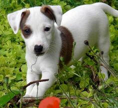 lolcuteanimals:  Jack Russell Terrier