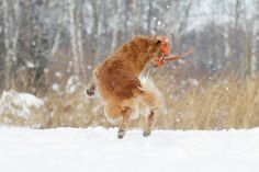golden retriever in action   Copyright: SITZ UND BLITZ Hundefotografie