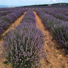 Fields of Lavender, Beaux de Provence, France