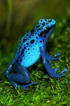 Sapphire-blue poison dart frog – Highly Toxic