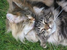 two very happy Maine Coon cats