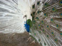 <3 half albino peacock <3
