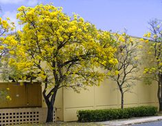 yellow tababuie or robles full bloom end March Puerto Rico